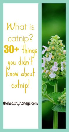 What is Catnip? 30+ Things you didn't know about catnip!