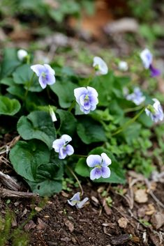 The 'Confederate Violet' found in the southeastern United States.