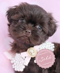 Shih-Tzu Puppies For Sale at TeaCups Puppies in South Florida