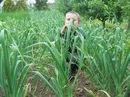 Ako správne pestovať cesnak