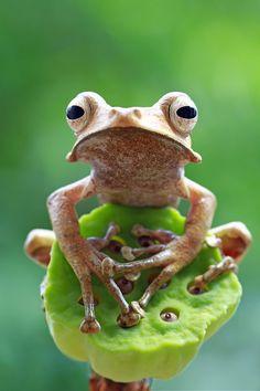 Eared tree frog by Kurit Afsheen