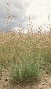 Pase Seeds - Ornamental Grass Seed - Bouteloua Gracilis Seeds, $2.99 (http://www.paseseeds.com/ornamental-grass-seed-bouteloua-gracilis-seeds/)