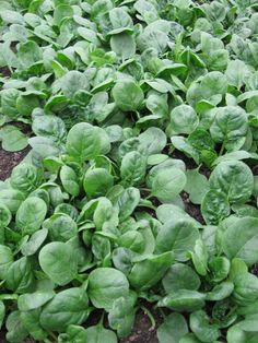 fast growing vegetables. Quick harvest will encourage not only new gardeners but also kids and we know that starting a vegetable garden is a great project for them as it will teach them to love veggies