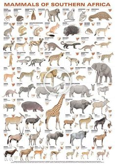 Mammals of Southern Africa Poster List Of Animals, Rare Animals, Zoo Animals, Animals And Pets, Exotic Animals, Strange Animals, Afrika Tattoos, Animal Species, Endangered Species