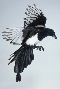 Magpie Tattoo Meaning