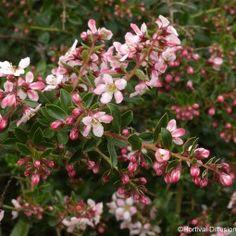 Escallonia Apple Blossom (Promesse de fleurs)