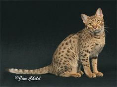 The only spotted domestic breed selectively bred to emulate the cats of the wild, this magnificent cat never fails to steal the show. The Ocicat is an agouti-spotted cat, originating from interbreeding of Abyssinian, Siamese and American Shorthair. Click to read more . . .