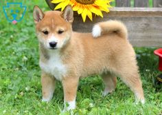 This sweet Shiba Inu puppy will be a lovely addition to your family. She is family raised Siberian Husky Puppies, Husky Puppy, Siberian Huskies, Black Lab Puppies, Cute Dogs And Puppies, Corgi Puppies, Cute Animal Videos, Cute Animal Pictures, Puppy Care