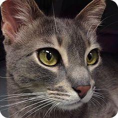New York, NY - Domestic Shorthair. Meet Andrew, a cat for adoption. http://www.adoptapet.com/pet/6852055-new-york-new-york-cat