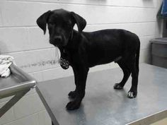 06/21/16--HOUSTON- FACILITY IS AT TRIPLE CAPACITY -EXTREMELY HIGH KILL FACILITY - This DOG - ID#A462151 I am a male, black Labrador Retriever. The shelter staff think I am about 5 months old. I have been at the shelter since Jun 21, 2016. This information was refreshed 57 minutes ago and may not represent all of the animals at the Harris County Public Health and Environmental Services.