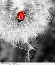 A single ladybird on a dandelion