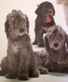 Bedlington Terrier puppies!!