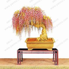 10PC rare gold mini bonsai wisteria tree seeds Indoor ornamental plants planting wisteria seeds-in Bonsai from Home & Garden on Aliexpress.com   Alibaba Group