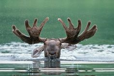 Moose photographed by Dorothy Keeler