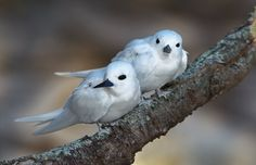 white tern pair Midway Atoll, Birds, Island, Water, Animals, Wings, Beauty, Gripe Water, Animales