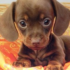 pictures of baby daushound | Baby dachshund! | All the furry woodland creatures!
