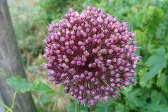 Allium ampeloprasum, Thessaloniki Allium, Thessaloniki, Greece, Flora, Plants, Cute, Grease, Plant, Planting