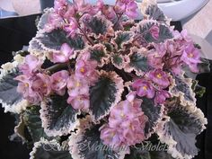 """African Violet """"Wild Irish Rose"""" ~ I have this one!  Mine is still young."""