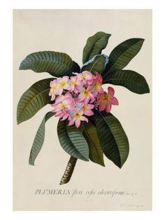 Botanical Print of Frangipani Giclee Print by Johann Wilhelm Weinmann at AllPosters.com