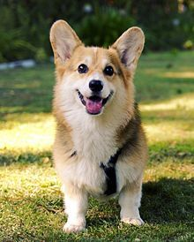 Dog And Puppies Diy Welsh Corgi - Wikipedia.Dog And Puppies Diy Welsh Corgi - Wikipedia Cute Dogs Breeds, Cute Dogs And Puppies, Dog Breeds, Welsh Corgi Pembroke, Baby Animals Pictures, Dog Pictures, Animals And Pets, Framed Pictures, Cute Little Animals