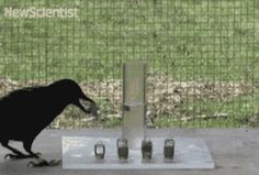Crows are brilliant, just so you know.