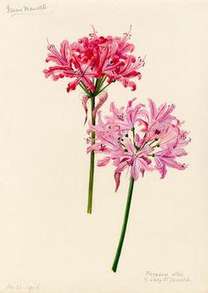 Lilian Snelling - Nerine manselli and N. flexuosa alba x Lady St Oswald, 1916 - RHS Prints - for more inspiration visit http://pinterest.com/franpestel/boards/