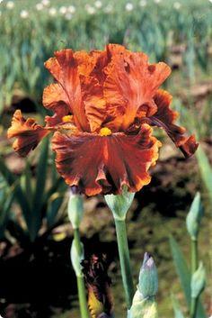 German Iris Rustler  http://www.dutchbulbs.com/store/iris/12944