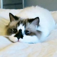 Munchkin cat getting ready to pounce