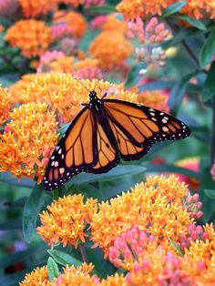 Butterfly weed (Asclepias tuberosa) or milkweed is as easy to grow as a weed but much prettier, plus hummingbirds and butterflies (especially monarchs) adore it! More top Midwest perennial flowers: www. - Gardening For Beauty Types Of Butterflies, Beautiful Butterflies, Beautiful Flowers, Plants That Attract Butterflies, Beautiful Gorgeous, Beautiful Gardens, Butterfly Weed, Monarch Butterfly, Orange Butterfly