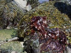 dulse---it starts as seaweed and dried into a salty treat. It is very healthy too.  I don't care for it but my Dad loves it.