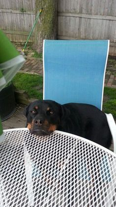 She is late #rottweilers #dogchews http://www.petrashop.com/