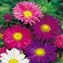 Aster Lazy Daisy Mix Seeds at Suttons Seeds