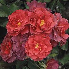 Cinco de Mayo floribunda - The festive colors are enhanced by a fresh-cut apple fragrance you will love. Red Flowers, Colorful Flowers, Flowers Bunch, Flowers Vase, Beautiful Roses, Beautiful Gardens, Rose Jackson, Floribunda Roses, Patio Trees