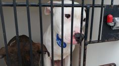01/06/17~~ SUPER SUPER URGENT - HOUSTON This DOG - ID#A475157 I am a male, white and brown Pit Bull Terrier. The shelter staff think I am about 8 months old. I have been at the shelter since Jan 06, 2017. This information was refreshed 37 minutes ago and may not represent all of the animals at the Harris County Public Health and Environmental Services.