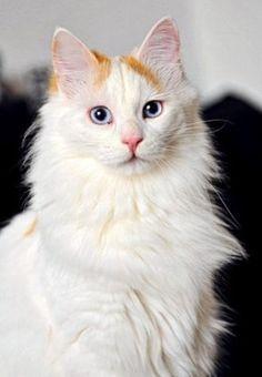 Rare cat breeds and Breed information - Turkish Van