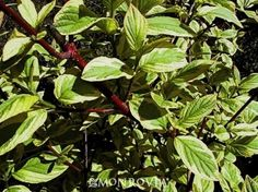 Hedgerow Gold Variegated Redwig Dogwood