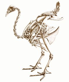 Google Image Result for http://www.unfeatheredbird.com/images/booklg/peacock-skeleton.png