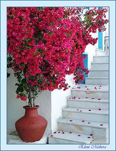 Bougainvillea  my favorite plant I so wish I could have this in my yard but winters are to cold were I live