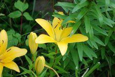 Lily Golden Yellow Short