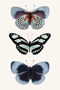 aux adonis ༺ les papillons bleus the blue butterflies (gravures print illustration peinture vintage)