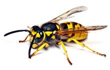 #Wasp Eradication by Fumapest http://termitesvic.com.au/wasps/