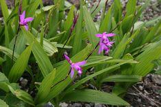 Orquídea de tierra: Bletilla Striata