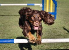 http://IndagoDogPhotography.com  Working cocker spaniel excels at agility - incredibly fast and very enthusiastic!