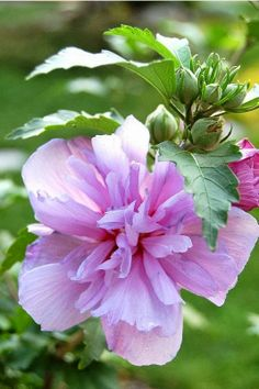 Rose of Sharon---WE OFTEN STOOD IN FRONT OF THIS BUSH FOR PICTURES. MY FAVORITE WAS MY DADDY HOLDING ME.