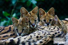 Groupe de servals au ZooParc de Beauval