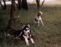Sam 1997 (the Dad ) & Brösel (Husky) , #braque #st.germain # pointer #puppy #pet #haustier #love #family #member #trauer #regenbogen #rainbow