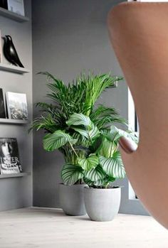Ficus Lyrata y palmera de salón