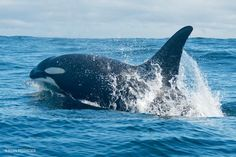 """Big boy M007 'Max"""" porposing offshore. It's always beautiful to see orcas that make the different behaviors in their natural habitat,especially when they're big bulls like Max! Photo credit:Ryan Reisinger"""