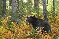 Bear encounters have the potential to turn very dangerous quickly. Here's what you need to know about camping and hiking in bear country. Grizzly Bear Habitat, American Black Bear, Bear Attack, Animal Games, Huckleberry, Camping And Hiking, Camping Ideas, East Coast, Mississippi
