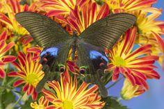Asian Swallowtail Butterfly